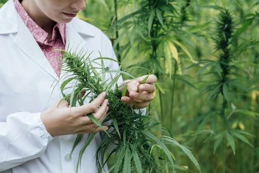 the-best-marijuana-strains